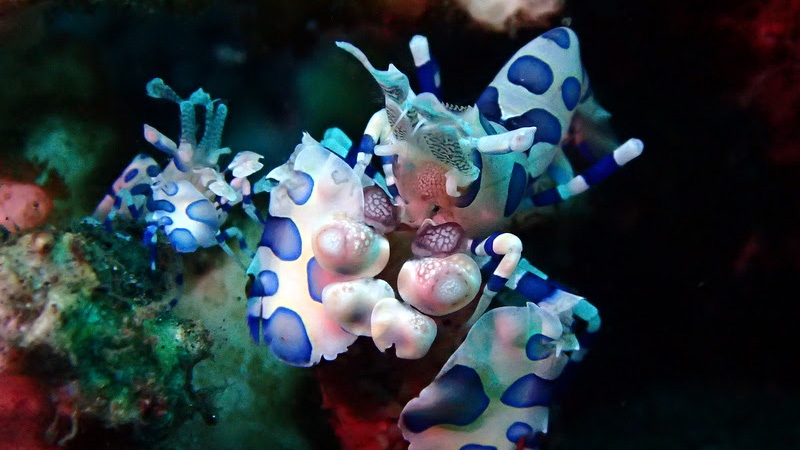 Harlequin Shrimp at Tulamben Bali Dive Site