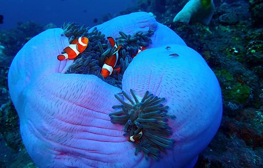 Clownfish in Anemone in Tulamben Bali dive site