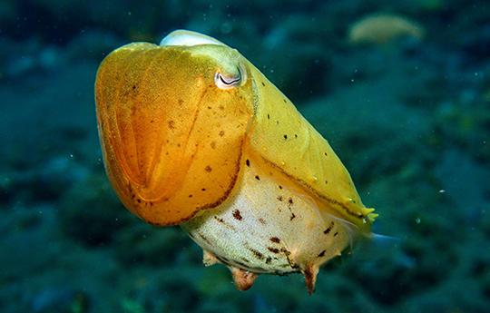 Cuttlefish in Tulamben Bali dive site