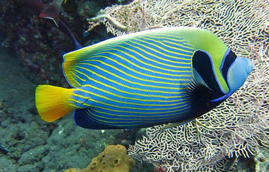 Emperor angelfish in Tulamben Bali dive site