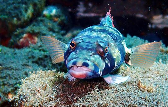 Gecko Fish in Tulamben Bali dive site