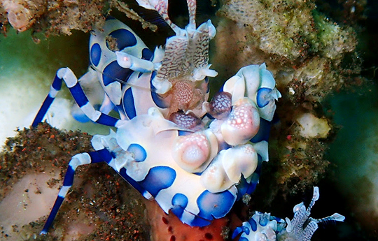 Harlequin shrimp in Tulamben Bali dive site
