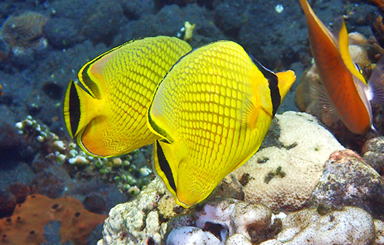 Butterfly Fish in Tulamben Bali Dive Site