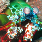 Mantis shrimp in Tulamben Bali dive site