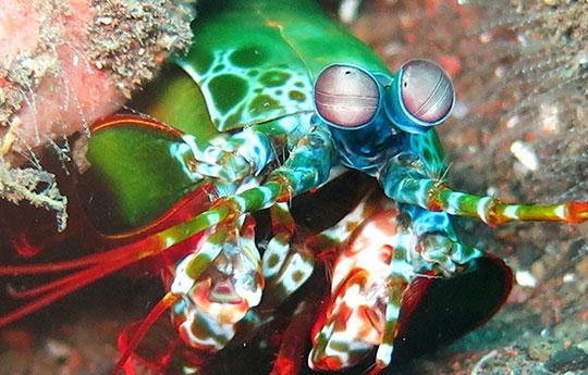 Mantis shrimp in Tulamben Bali dive site