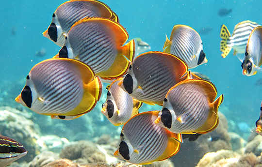 Panda Butterfly fish in Tulamben Bali dive site