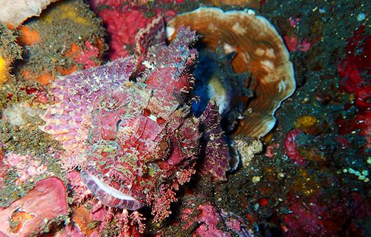 Scorpion fish in Tulamben Bali