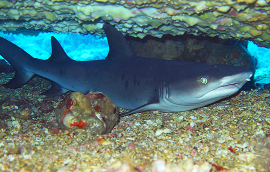 Shark in Tulamben Bali dive site