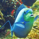 Surgeon Fish in Tulamben Bali dive site