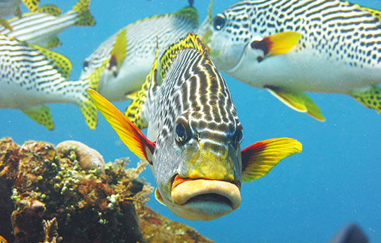 Sweetlips fish in Tulamben Bali dive site