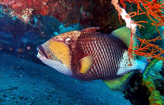 Trigger Fish in Tulamben, Bali dive site