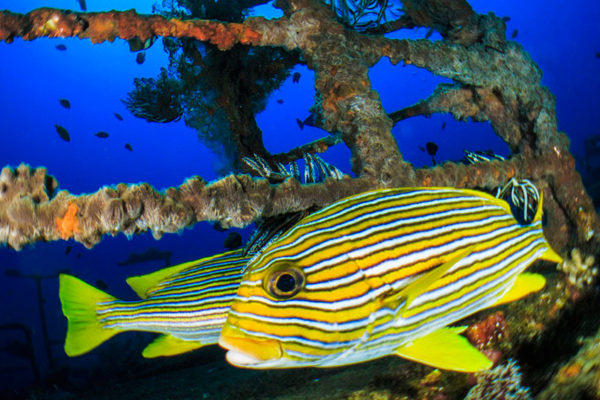 Sweetlips Fish in Bali