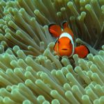 Clownfish in Anemone, marine life at Coral Garden in Tulamben Bali Indonesia