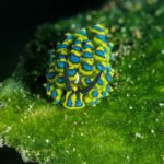 Blue and Yellow Costasiella Sheep Nudibranch at Melasti Tulamben Bali dive site