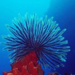Crinoid Feather Star diving at Drop Off in Tulamben, Bali, Indonesia