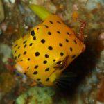 Yellow Boxfish in Tulamben Bali