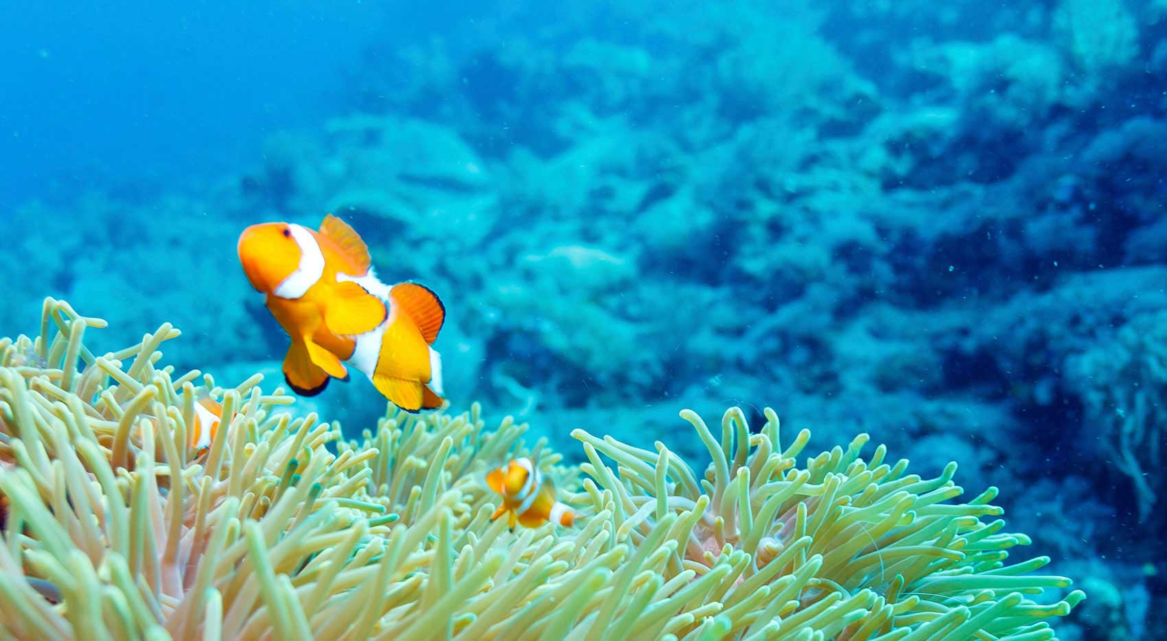 Let's Dive Tulamben Bali clownfish swimming in anemone header image