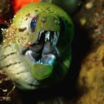 Giant Moray Eel, marine life diving in Coral Garden Tulamben, Bali, Indonesia
