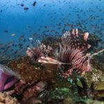 Lionfish in coral reef at Batu Kelebit dive site in Tulamben Bali