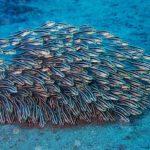 School of Marine Coral Catfish (Plotosus lineatus) / Striped Eel Catfish at Drop Off dive site in Tulamben, Bali, Indonesia