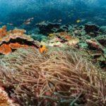 Coral reef clownfish in Tulamben Bali