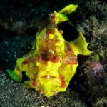 Yellow Clown Frogfish / Warty Frogfish (Antennarius Maculatus) at Tulamben Bali Seraya dive site