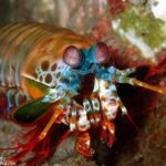 Mantis shrimp at Tulamben Bali Coral Garden dive site
