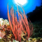 Red Sea Whip Coral in Tulamben Bali, Indonesia