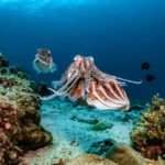 Cuttlefish at Tulamben Bali Reef Alamanda