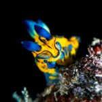 Blue and Yellow Nudibranch sea slug at Batu Belah Tulamben Bali scuba dive site