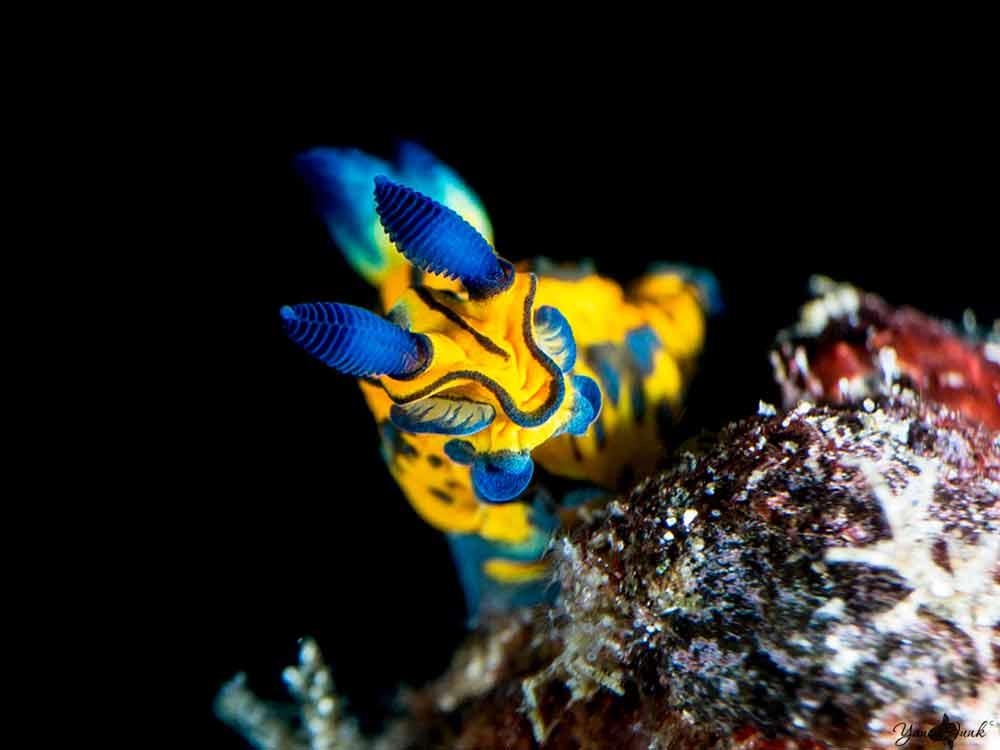 Blue and Yellow Nudibranch sea slug at Batu Belah Tulamben Bali scuba dive site