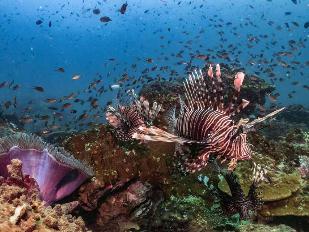 Lionfish in coral reef at Batu Kelebit scuba dive site in Tulamben Bali