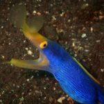 Blue and Yellow Ribbon Eel in Tulamben Bali