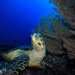 Sea turtle at Tulamben Bali scuba diving site Liberty Wreck