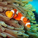 Clownfish hiding in anemone at Tulamben Bali Coral Garden scuba dive site