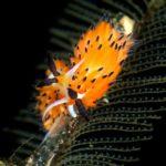 Orange Favorinus Tsuruganus Nudibranch on Dive Trip in Melasti Tulamben, Bali