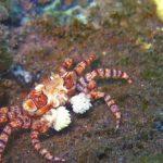 Boxer Crab Tulamben Bali Scuba Diving at Seraya Site
