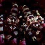 Coleman Shrimp Tulamben Bali Scuba Diving at Batu Belah