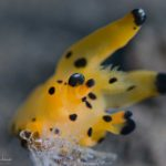 Pikachu Nudibranch at Seraya Scuba Diving Site in Tulamben, Bali