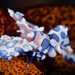 Spotted Harlequin Shrimp at Tulamben Bali Seraya Scuba Diving Site