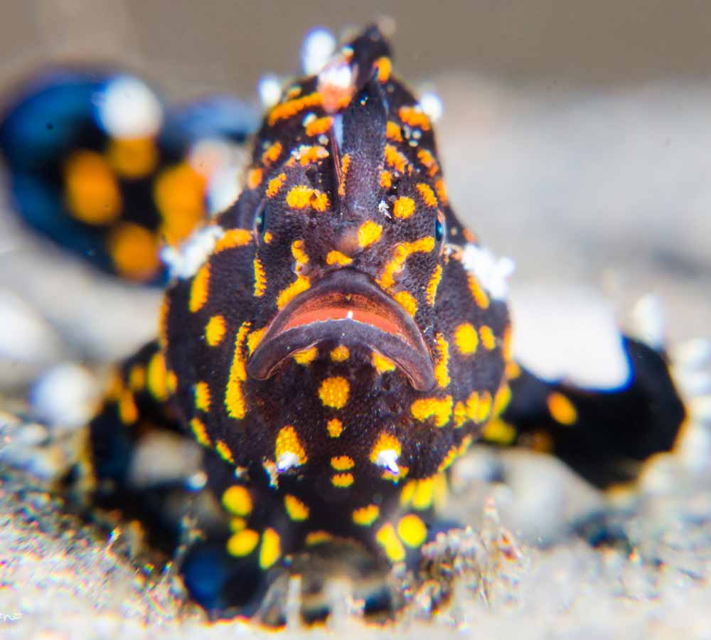 Spotted Frogfish Tulamben