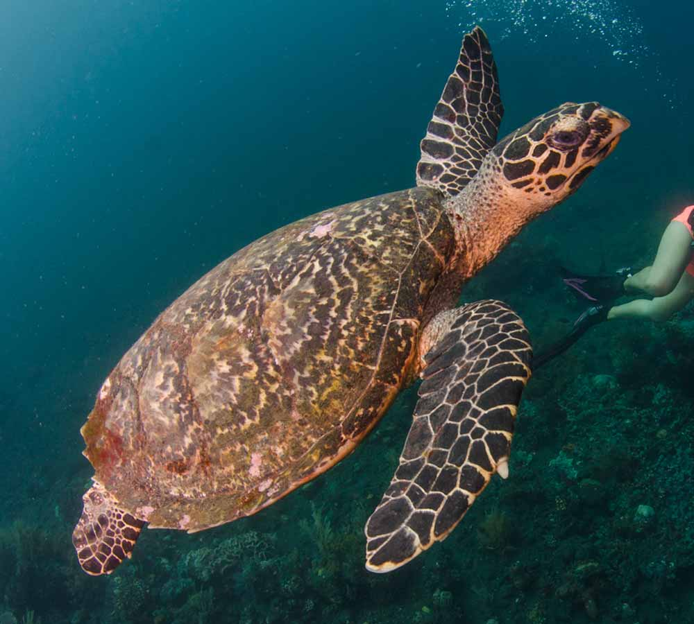 Sea Turtle, Diving in Tulamben Bali